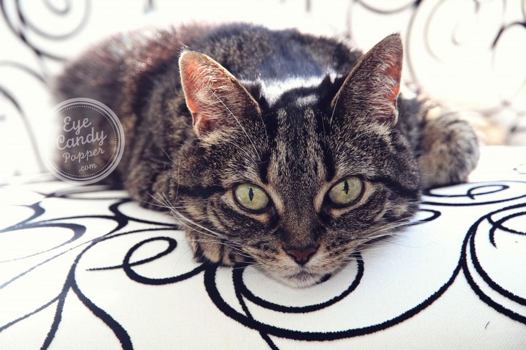 Brandy the cat eyecandypopper.com