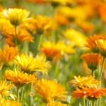 Discover your weeds: Calendula