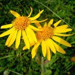 Discover your weeds: Arnica