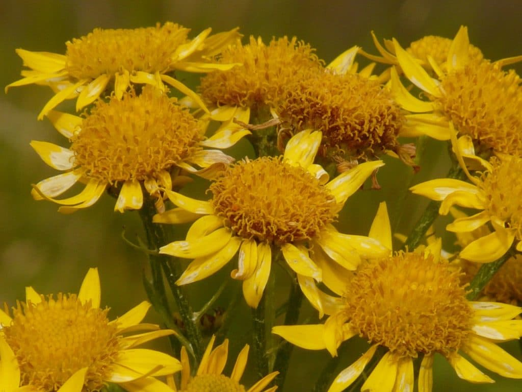 A group of arnica flowers